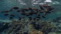 School Of Orangespine Unicorn Fish Swim Over Shallow Reef Table