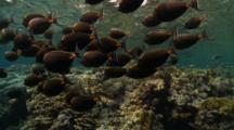 School Of Orange Spine Unicorn Fish Swim Over Shallow Reef Table