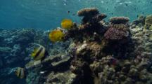 Bannerfish And Butterflyfish Pairs Over Reef Top