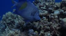 Arabian Angelfish Feeding On Coral Garden