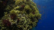 Looking Down Reef Wall With Soft Coral And Anthias