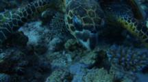 Hawksbill Turtle Turning In Front Of Camera