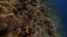 Giant Squirrelfish Swims In Circles On Reef Wall