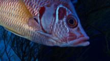 Head Of Giant Squirrelfish Hiding Behind Black Coral