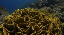 Lettuce Coral In Colourful Coral Garden