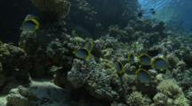 School Of Blackbacked Butterflyfish Swim Over Colorful Reef