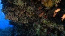 White-Edged Soldierfish Hide In Cracks In The Reef