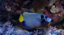 Emperor Angelfish Swims Down Between The Corals
