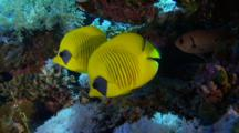 Pair Of Masked Butterflyfish Side By Side