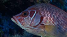 Giant Squirrelfish Turns And Swims Away