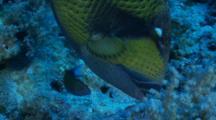 Titan Triggerfish Bites A Piece Of Coral