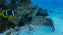 Yellowmouth Moray Eel Hunting On A Coral Pinicle