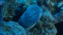 Yellowmouth Moray Eel In Cleaning Station Snapping Its Mouth