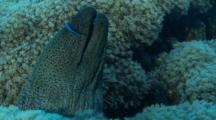 Giant Moray Eel Being Cleaned By Arabian Cleaner Wrasse