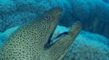 Giant Moray Eel Mouth Opens Its Mouth And Arabian Cleaner Wrasse Enters
