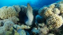 Giant Moray Eel Resting In The Corals