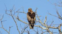 Tawny eagle (Aquila rapax) perched on tree looks around Kruger National Park South Africa