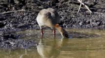 Egyptian Goose Geese (Alopochen Aegyptiacus) Hunting And Foraging And Feeding In Water Kruger National Par