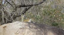 Klipspringer (Oreotragus Oreotragus) On Rock Facing Camera Kruger National Park