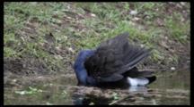 "Purple Swamphen (Porphyrio Porphyrio Melanomas) A Purple Swamphen Porphyrio Porphyrio Melanotus) A ""Swamp Hen"" In The Rail Family Rallidae Bathing And Grooming Australia"