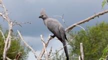Speckled Mousebird (Colius Striatus) The Largest Species Of Mousebird,  Kruger National Park