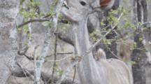 Greater Kudu (Tragelaphus Strepsiceros), A Woodland Antelope, Young Female Browsing On Small Bush, Kruger National Park