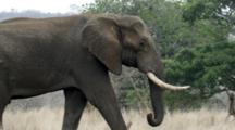African Elephant (Loxodonta Africana) Bull Kruger National Park