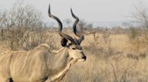 Greater Kudu (Tragelaphus Strepsiceros) Male Woodland Antelope Wals Slomo In Bushland, Skruger National Park
