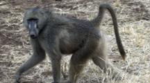 Chacma Baboon (Papio Ursinus), Also Known As The Cape Baboon, Walking Slomo Shows Teeth Kruger National Park