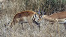 Impala (Aepyceros Melampus) Female Browsing Then Male Sniffing Her For Sex Mating Ritual Kruger National Park