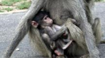 Stock Footage of Primates With Young