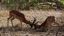 Impala (Aepyceros Melampus) Young Bulls Sparring, Locking Horns, Preparing For Mating, Kruger National Park