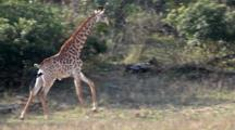 Giraffe (Giraffa Camelopardalis) Adult Running Alone First Then Joined By Juvenile Kruger National Park