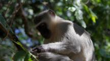 Vervet Monkey (Chlorocebus Pygerythrus) In Tree, Grooming Then Jumping Down Kruger National Park