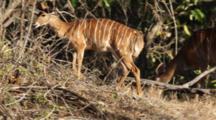 Greater Kudu (Tragelaphus Strepsiceros), Woodland Antelopes, Adult Female And Juvenile Female Browsing On Small Bush And Grass, Kruger National Park