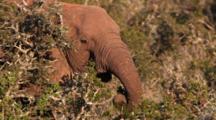 Mud Covered Tuskless Female African Elephant (Loxodonta Africana) Feeding On Scrub Small Tree Addo Elephant National Park