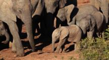 African Elephant (Loxodonta Africana) Calves Tussle And Play In Family Group With Adults Addo Elephant National Park