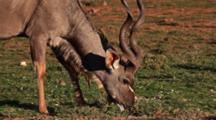Greater Kudu (Tragelaphus Strepsiceros) Male Woodland Antelope Browsing On Grassland Kruger National Park