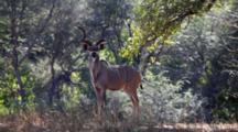Greater Kudu (Tragelaphus Strepsiceros) Male Woodland Antelope In Bushland, Looks At Camera, Kruger National Park