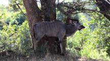 Greater Kudu (Tragelaphus Strepsiceros) Male Woodland Antelope In Bushland, Stands Under Shade Tree, Kruger National Park