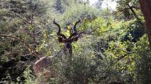 Greater Kudu (Tragelaphus Strepsiceros) Male Woodland Antelope Stands In Bushland, Skruger National Park
