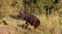 Male Nyala (Tragelaphus Angasii) Southern African Antelope Showing Spiral-Horns Walking In Bushland Kruger National Park