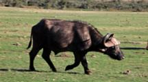 African Buffalo, Affalo Or Cape Buffalo (Syncerus Caffer) Walking Through Herd Addo Elephant National Park
