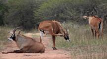 Roan Antelope (Hippotragus Equinus) Grazing, Resting, Grooming In Scrubland