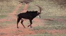 Sable Antelope (Hippotragus Niger) Rare Endangered Antelope Walking With Rare Roan Antelope (Hippotragus Equinus) In Background