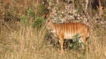 Greater Kudu (Tragelaphus Strepsiceros), A Woodland Antelope, Young Female Browsing On High Grass, Kruger National Park
