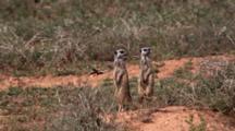 Meerkat Or Suricate (Suricata Suricatta) On Rear Legs On Alert As Sentinels Addo Elephant National Park