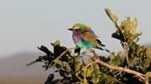 Mature Lilac-Breasted Roller, Coracias Caudatus, On Tree With Long Tail Feathers