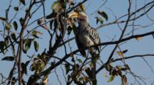 Southern Yellow-Billed Hornbill (Tockus Leucomelas) Grooming While In Tree Kruger National Park