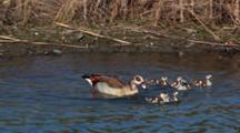 Egyptian Geese Goose (Alopochen Aegyptiacus) Mother Enters Water With Six Chicks Then Joined By Father Kruger National Park
